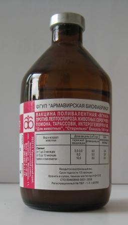 Симптомы и лечение лептоспироза у КРС